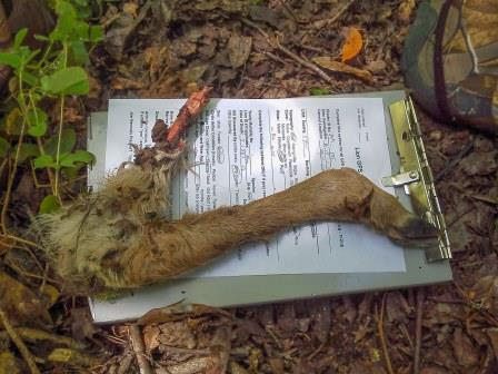 Leg of a fawn, successfully hunted and eaten by 39M and evidence that he has the skills he' needs to survive (photo by Cameron Kolk)