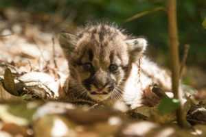 Three week old cub of puma 38F.  Photographed in July 2013.
